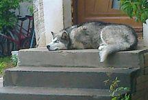 alaskan malamute and husky