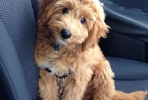 Dog - Mini Goldendoodle
