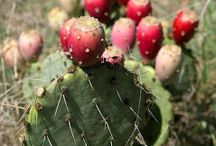 prickly pears.