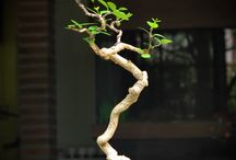 Bonsai / by David Grundy