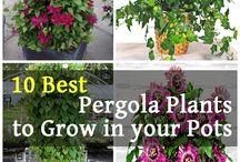 Precious Pergola Plants!