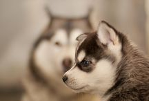 Conception de: HUSKIE CHIEN / by paperpixel