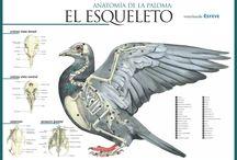 Anatomia aves
