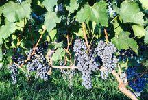 Hegyem Hungarian Wine / Wijngoed