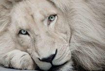 Bílá je prostě krásná :) / Lvíčci a tygříci