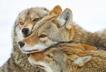 Canis / Wolves, dogs, coyotes and other canines