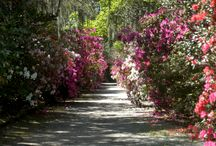 Charleston Gardens / Charleston is known for its gardens.  To take a tour of some of Charleston most beautiful gardens, visit in the Fall and Spring.