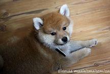 Koiramme Sulo / Tässä kansiossa esiintyy Sulo koiramme joka on rodultaan kleinsitzin ja shiban sekoitus.