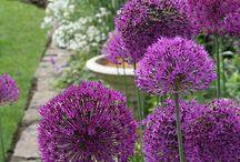 Allium - Díszhagyma