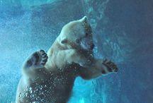 ice bear pics