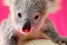 Koala's