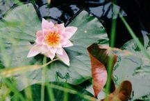 Bloemen fotografie / Foto's van bloemen in allerlei stadia, vormen, soorten en kleuren in het veld en stillevens, zowel binnen als buiten en macro's.