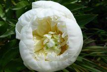 Paeonies / Flowers