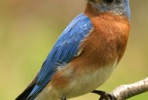 Bluebirds and other wonders