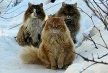 Siberian farm cats 3 cats Lapych, Solnyshko, Tyoma