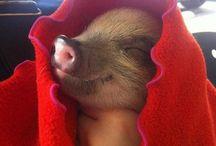 Pigs/Farm