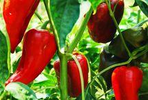 papriky pěstování