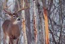 Deer pics