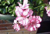 Bloemen / Eigen tuin