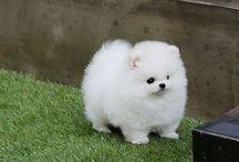 My Pomeranian dream