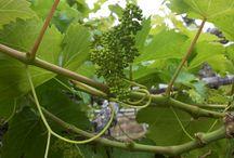 Anggur (Grape)