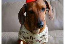 Wiener Dog / Wiener Dog - gorgeous dachshunds