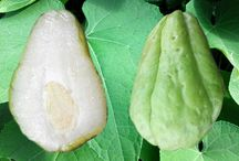 Health benefits of squash chayote. What is chayote