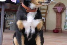 Bernese Swiss Mountain Dog - Berner Sennenhund / Bernese Swiss Mountain Dog, my absolute favourite dog breed!