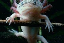 axolotls <3