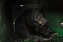 Here Bear Bear Bear