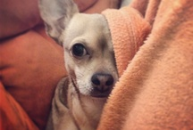Chihuahua  / 4 years small devil,his name is Leo :) my love ❤