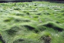 Grasses - Los Angeles / Drought tolerant grasses suitable for Los Angeles