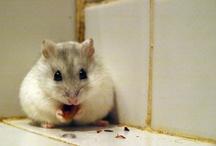 hamster russe