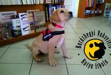 Fidzsi a vakvezető kölyök kutya tanuló  (Fidzsi  the guide dog puppy)