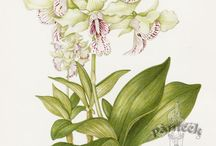 Orchid Botanical prints