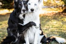 Border collies and other dogs