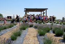 Lavender Festival Chatfield Farm Denver / The annual Lavender festival featured 14 varieties of lavender growing in rows, perennial beds, and containers. The event had plenty of family activities, music and classes. Lavender has many uses such as for home decor, food and medicine.
