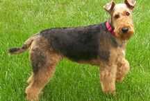 Airedale Terrier / Airedale Terrier The race date from the mid- nineteenth century and results from Crossings of Otterhounds and old English Black , missing races. Originally from Yorkshire, England , he WAS Cree originally paid Otter Hunting And Rats . He was and East reconnu Like King and The Greatest burrows. ------- La race date du milieu du XIXe siècle et résulte de croisements d'otterhounds et d'old english black, des races disparues.