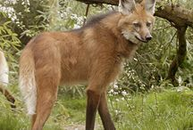 LOUP A CRINIERE... Maned Wolf. / Though termed as a Wolf and closely resembling a large red Fox, this animal is placed in a genus of its own.The Maned Wolf is an unusual-looking canid with golden-red fur, long black legs and huge ears. It is omnivorous, this means it eats a variety of foods. It enjoys a fruit called 'Loberia' so much that it has now become known as the 'Wolf Fruit'. It also enjoys rabbits, mice and birds.      It is the biggest canine of South America,standing 36 inches at the shoulder.