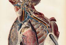 анатомические рисунки