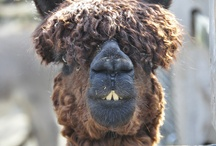 Ewe Love Sheep / Sheep and Alpacas