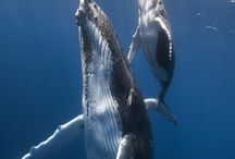 Travail baleine