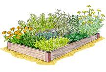 Herbes Aromatiques / fines herbes et plantes médicinales à cultiver en carrés potagers, en massifs, en pots, pour parfumer des préparations culinaires, pour tisanes, décoctions ...