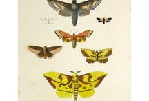 Antique Butterfly Prints