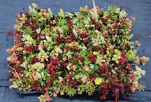 SedumSod / Create easy & fun projects with SedumSod! Use as a ground cover, dog or bird rooftops, DIY projects and so much more!   Buy online at www.GreatGardenPlants.com / by Great Garden Plants