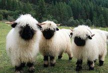 sheep sheep sheep