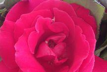 Rosas do meu jardim