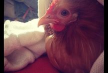 Chicken Love / Best ways to keep our chickens in tip top condition