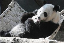 pandas / by Soso Hassan