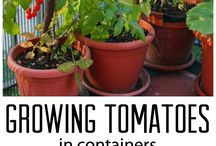 Grow Great Tomatoes / There's simply nothing better than eating a homegrown tomato, fresh from the garden. Here are the best tips and advice to help you grow great tomatoes--whether you have a huge garden or a little pot on your apartment deck. Happy gardening!